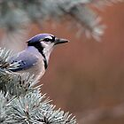 Haughty Blue Jay by Debbie Oppermann