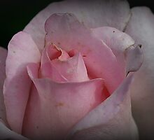Faded Rose by Monnie Ryan