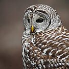 Barred Owl by KatMagic Photography