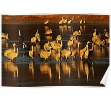 Bosque Del Apache Sandhill Cranes Golden Light Poster