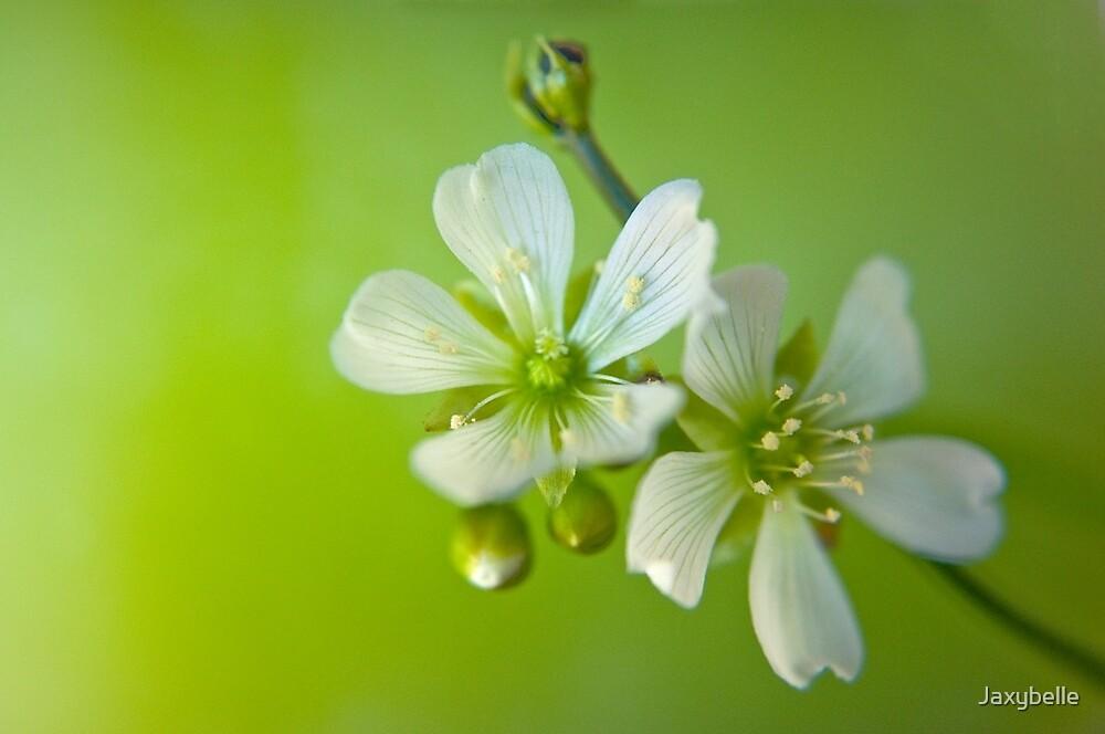 Venus Fly Trap flowers 1 by Jaxybelle