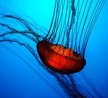 """Sea Nettle"" by Alexander Isaias"