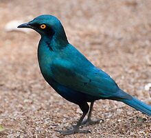 Glossy Starling by Vickie Burt