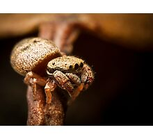(Simaethula ZZ483) Jumping Spider #3 Photographic Print