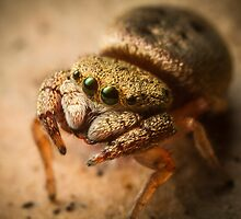 (Simaethula ZZ483) Jumping Spider #4 by Kerrod Sulter