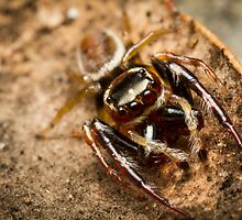 (Opisthoncus polyphemus) Male Jumping Spider by Kerrod Sulter