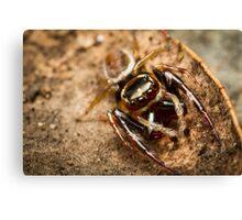 (Opisthoncus polyphemus) Male Jumping Spider Canvas Print
