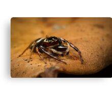 (Opisthoncus polyphemus) Male Jumping Spider #2 Canvas Print