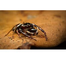 (Opisthoncus polyphemus) Male Jumping Spider #2 Photographic Print