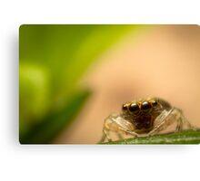 (Astia nodosa?) Jumping Spider Canvas Print