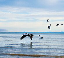 Pelican in Flight by -aimslo-