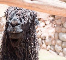 Alpaca Suri by Deanne Chiu
