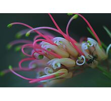 Grevillea semperflorens Photographic Print