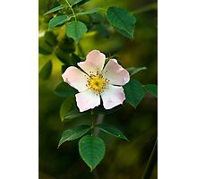 Wild Rose Flower Photographic Print