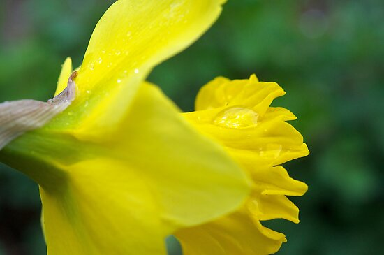 Daffodil after the rain by Morag Anderson