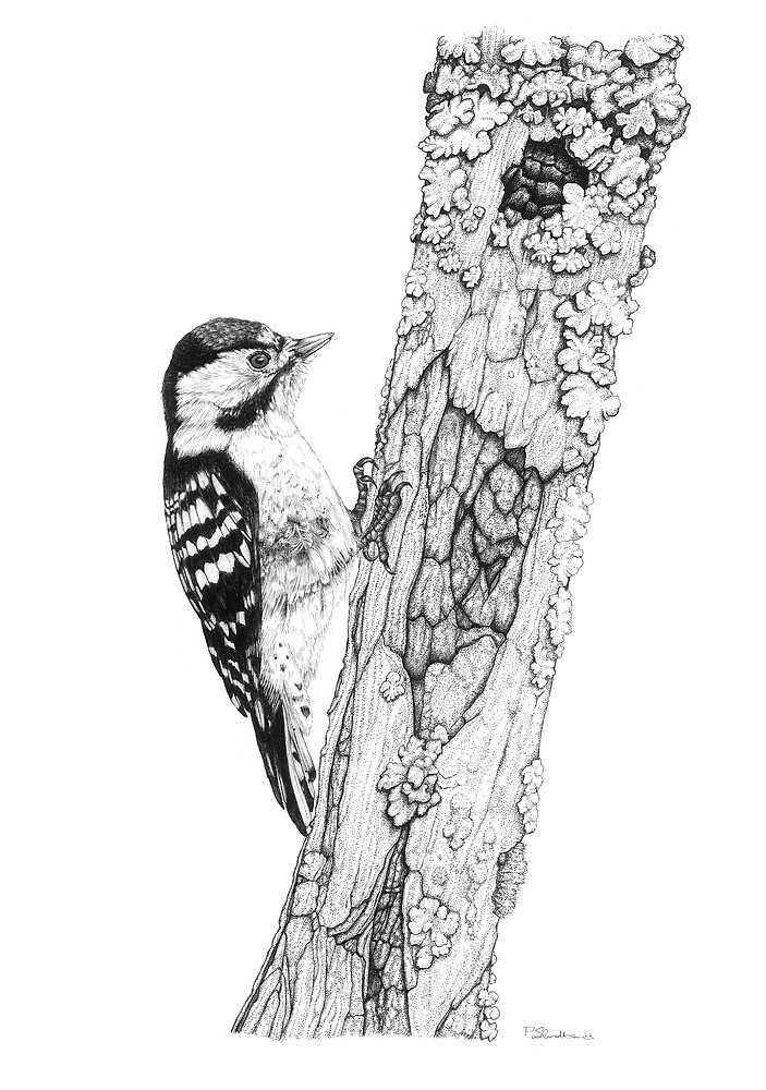 Greater Spotted Woodpecker by Paul Stratton