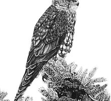 MERLIN (Bird of Prey) by Paul Stratton