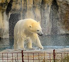 Ice bear Vicks ........ Swimming as good ..... by MaartenMR
