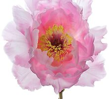 Pink Tree Peony by Alyson Fennell