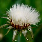 Knapweed Fuzz by amicejane
