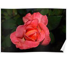 Peach tangerine rose Poster