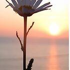 Sunset Daisy by ienemien