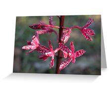 Australian orchid - Dipodium punctatum Greeting Card