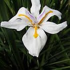Iris 2 by Susan Glaser