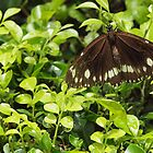 Butterfly on Hedge by Fiona Allan Photography