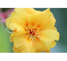 Moss Rose Photographic Print