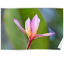 Hawaiian Plumeria II Poster