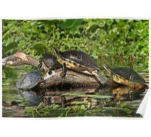 Turtles Sunning Poster