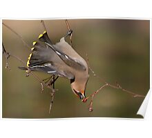 Contortionist Bohemian Waxwing. Poster