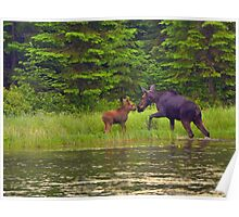 The Moment.......Cow and Calf Moose Poster