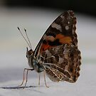 The Australian Painted Lady Butterfly  by retroboho