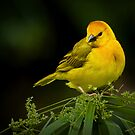 Taveta Golden Weaver by Jeff Weymier