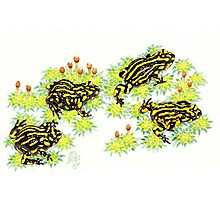 Corroboree frogs (Pseudophryne corroboree) Photographic Print