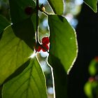 Red Berries with Sun by Michael  Kemp