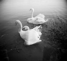 Swan Lake by Cassia Beck