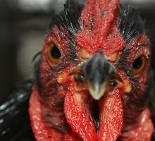 Rooster by pjwuebker