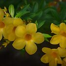 Yellow Mandevilla by Kathy Baccari