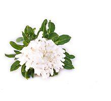 White Callistephus chinensis, chinese aster flower, isolated by Daniel Rönneberg
