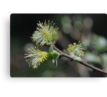 Eared Willow Flowering Canvas Print