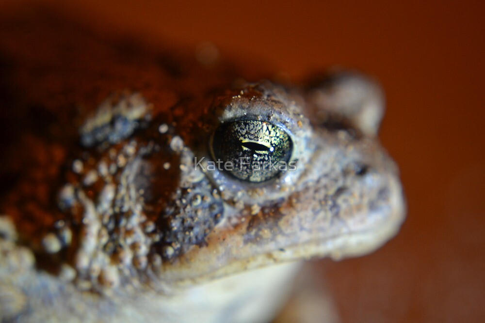 Bufo toad by Kate Farkas
