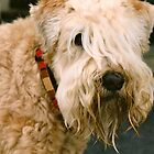 Soft Coated Wheaten Terrier by Double-T