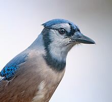Blue Jay Closeup  by Bonnie T.  Barry