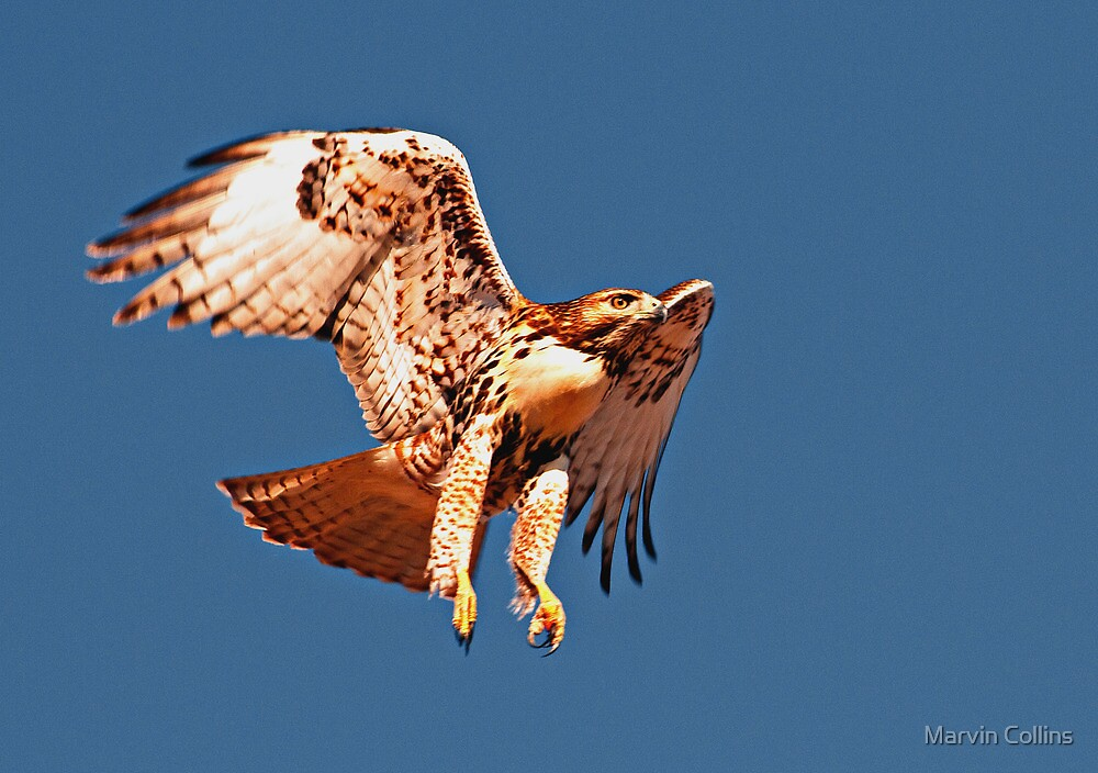 112412 Red Tailed Hawk by Marvin Collins