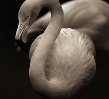 Flamingo  by A. Duncan