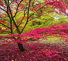 Japanese maple (Acer palmatum) at Westonbirt Arboretum by Andrew Harker