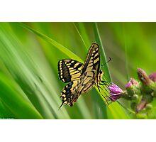 swallowtail (norfolk uk) 2 Photographic Print